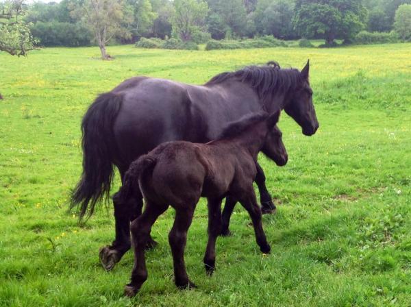 Les chevaux Percherons